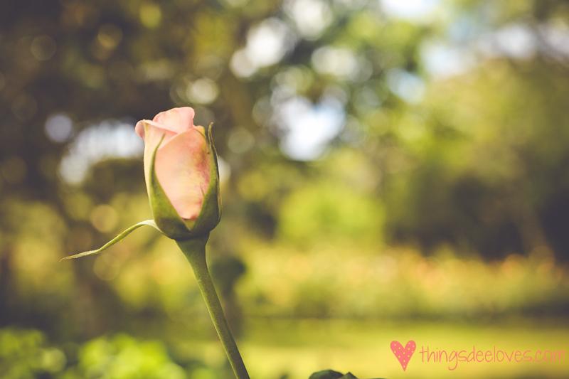 chart farm roses-3