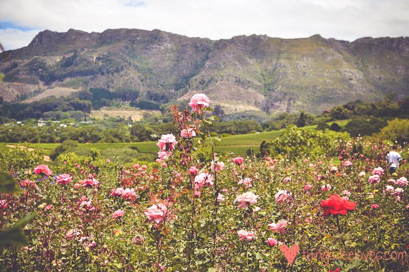 chart farm roses-4