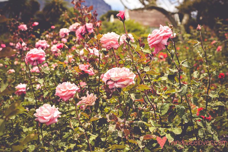 chart farm roses-6